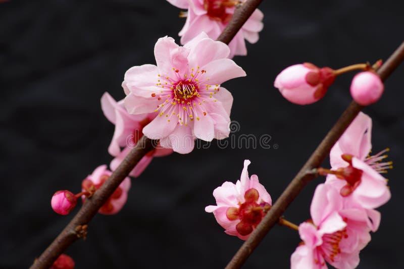 Pruimbloem het bloeien stock fotografie