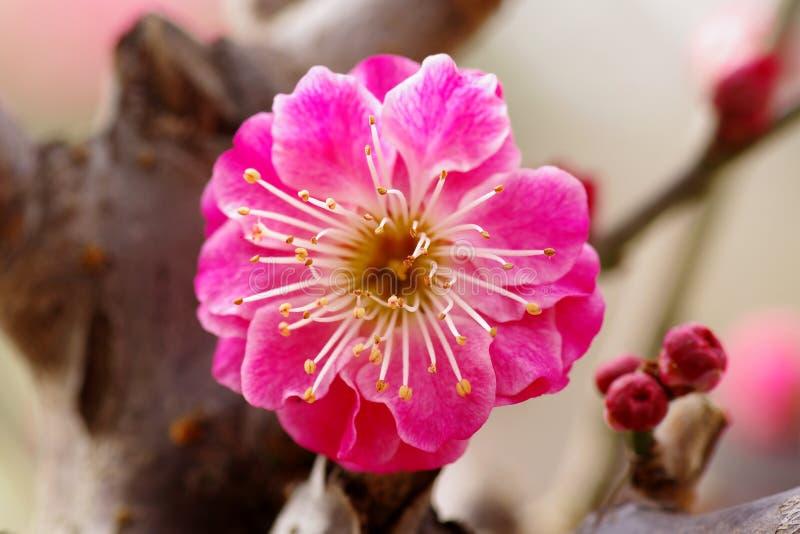 Pruimbloem het bloeien stock afbeeldingen