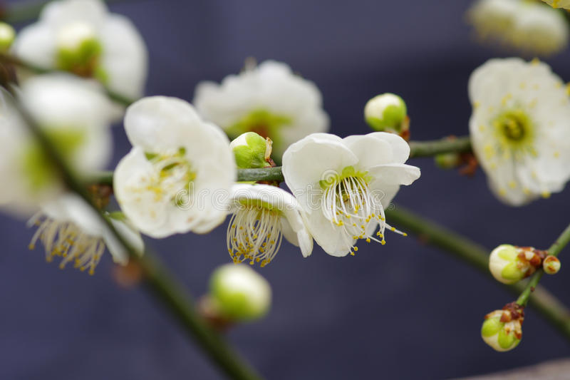 Pruimbloem het bloeien stock foto