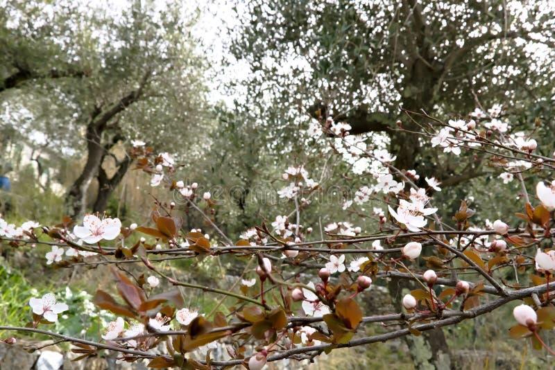 Pruimbloesems in een olijfgaard royalty-vrije stock foto