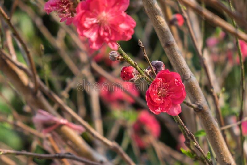 Pruimbloesems op boomtakken met zonglans op bloembloemblaadjes royalty-vrije stock foto
