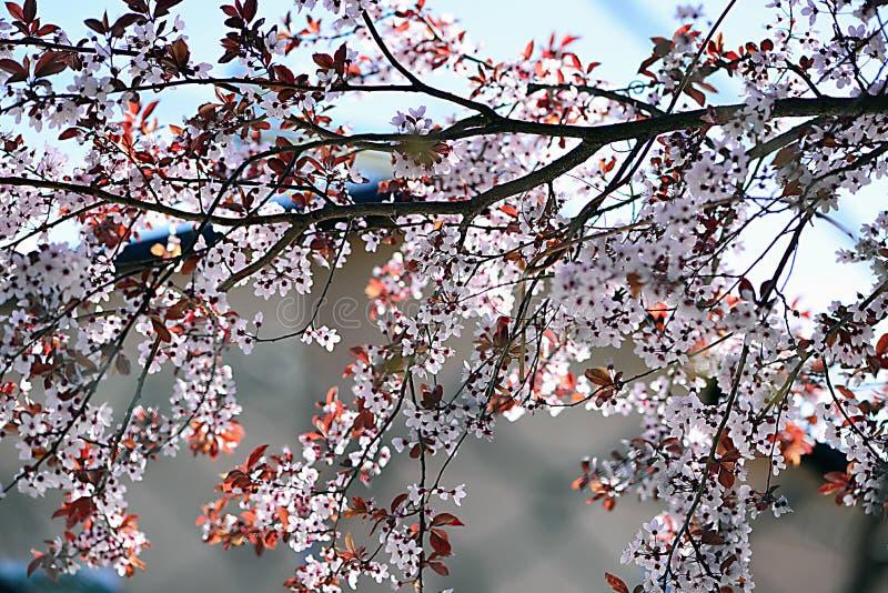 Pruimboom en bloemen die de takken behandelen stock foto