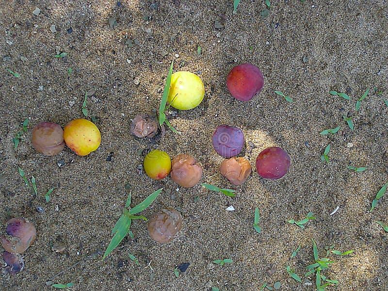 Pruimen op de vloer in de tuin stock foto