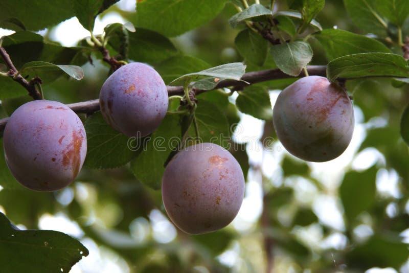 pruimen op een boom in een tuin stock foto's