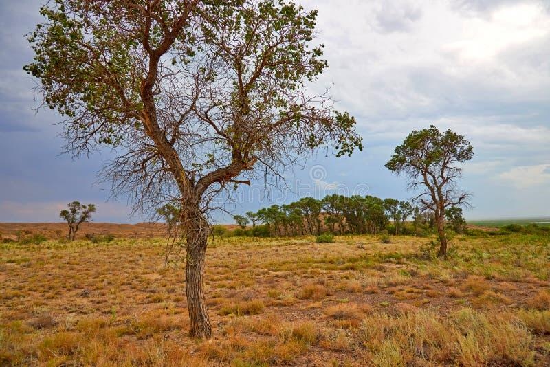 Pruinosa di populus di turanga dell'albero nella steppa del deserto fotografia stock libera da diritti