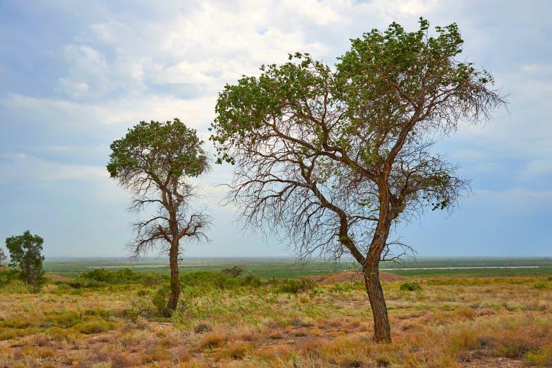 Pruinosa van Populus van boomturanga in de woestijnsteppe royalty-vrije stock foto