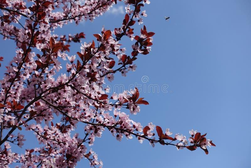 Prune de Pissardi en fleur contre le ciel photos libres de droits