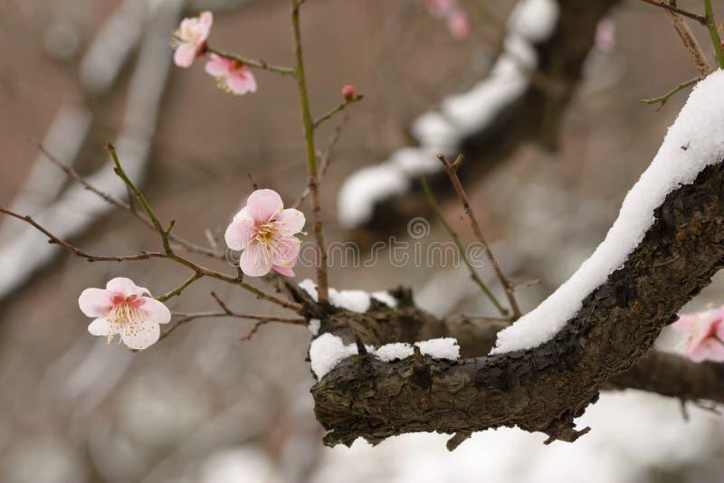 Prune et neige 2 image libre de droits