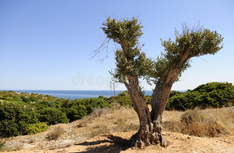 Olive Tree, Pruned, Young, Blue Water Scenery Background. Pruned Olive Tree with ocean scenery behind, on the horizon, and bright green undergrowth vegetation stock photos