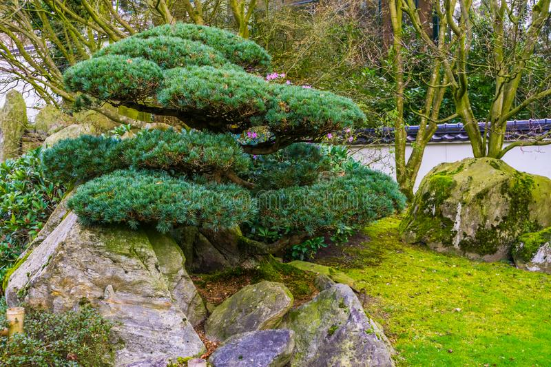 Pruned tree in japanese style, Topiary art, Asian traditions stock photography