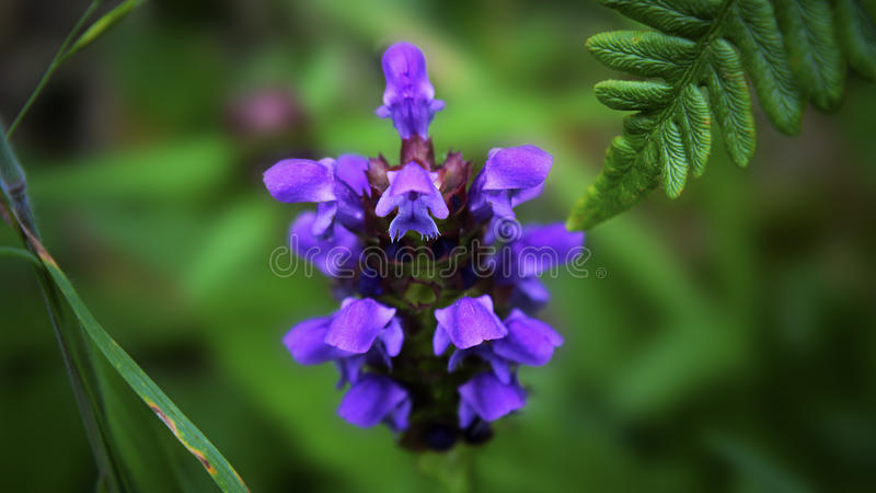Prunella Vulgaris, o Uno mismo-cura la flor fotografía de archivo libre de regalías