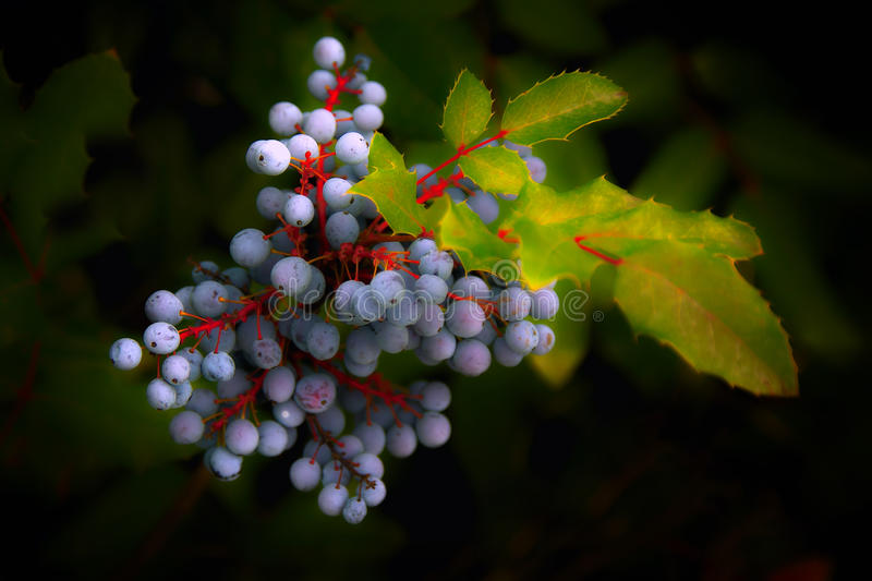 prunellier photographie stock