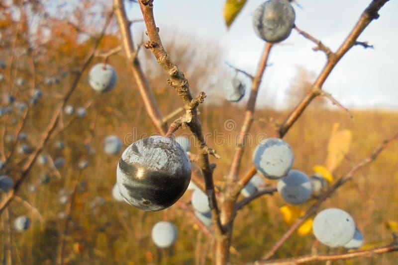 Prunellier sur une branche sans feuilles pendant l'automne dans le plan rapproché de pré image stock