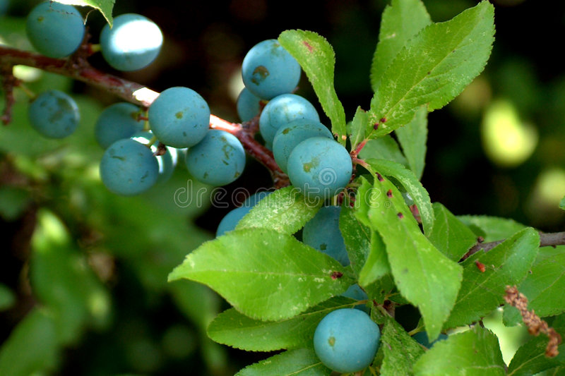 Prunelliers photo stock