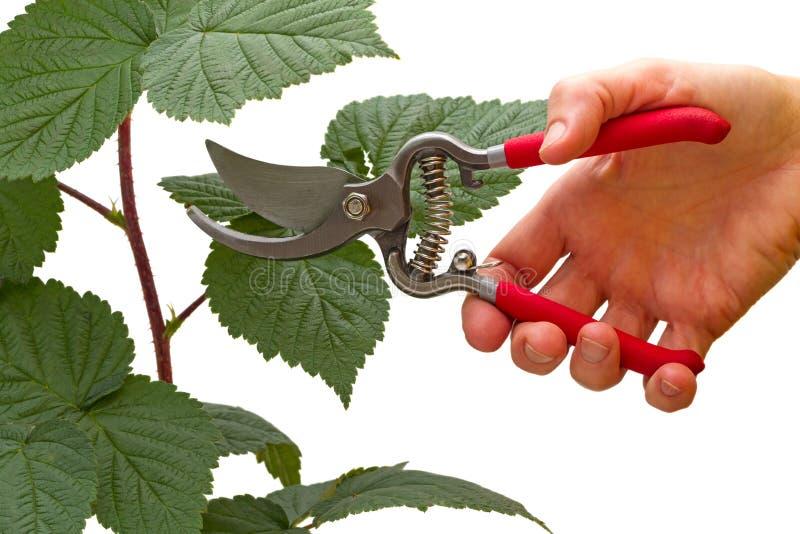 Pruner del giardino a disposizione e ramo del lampone immagini stock libere da diritti