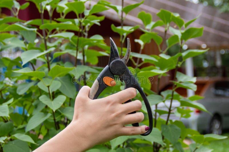 Pruner del utensilio de jardinería a disposición en fondo de la rama fotografía de archivo libre de regalías