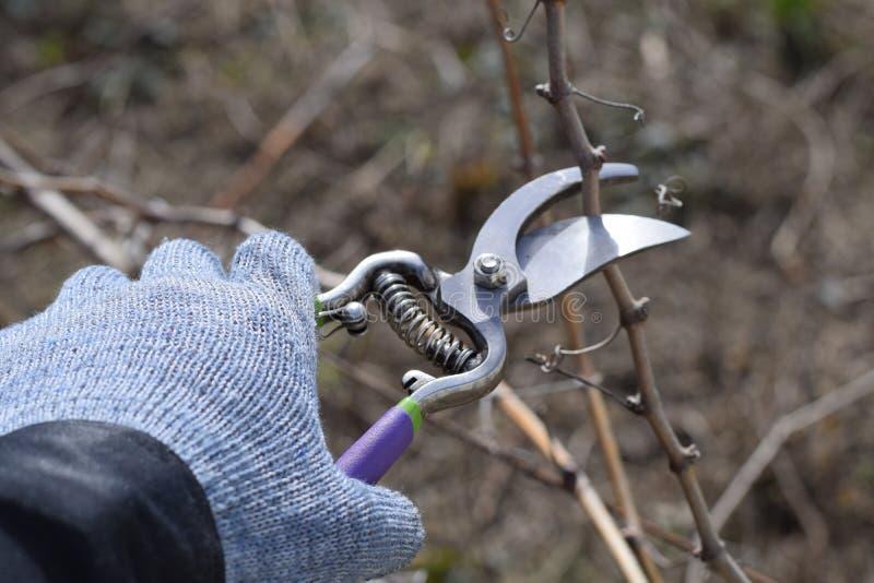 Pruners de las ramas de la pera de la poda foto de archivo libre de regalías
