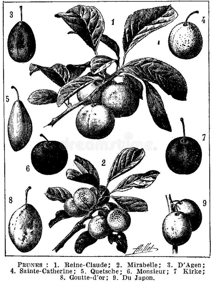 Prunes 1 Free Public Domain Cc0 Image