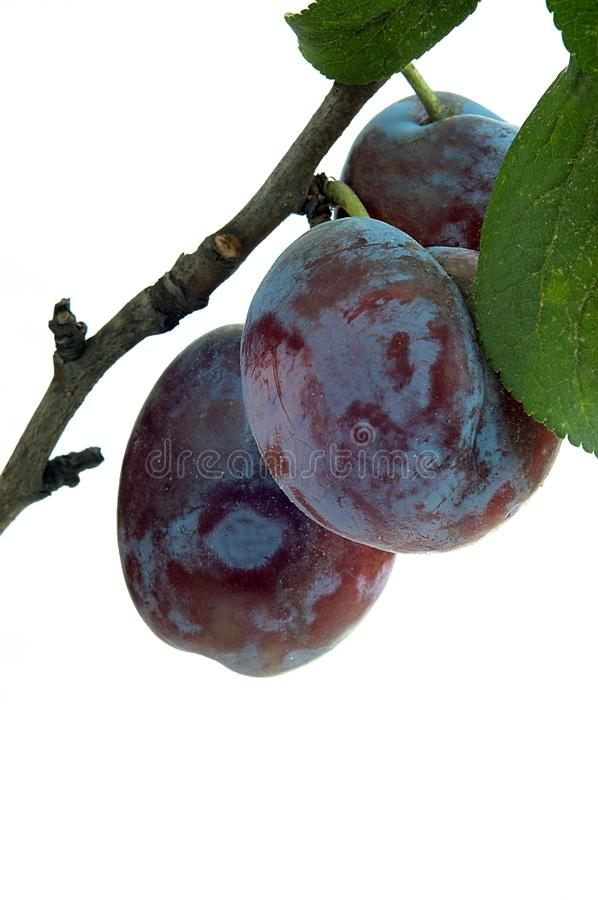 Prunes. Plum fruits on a twig with leaves stock image