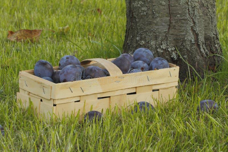 Prunes photos stock