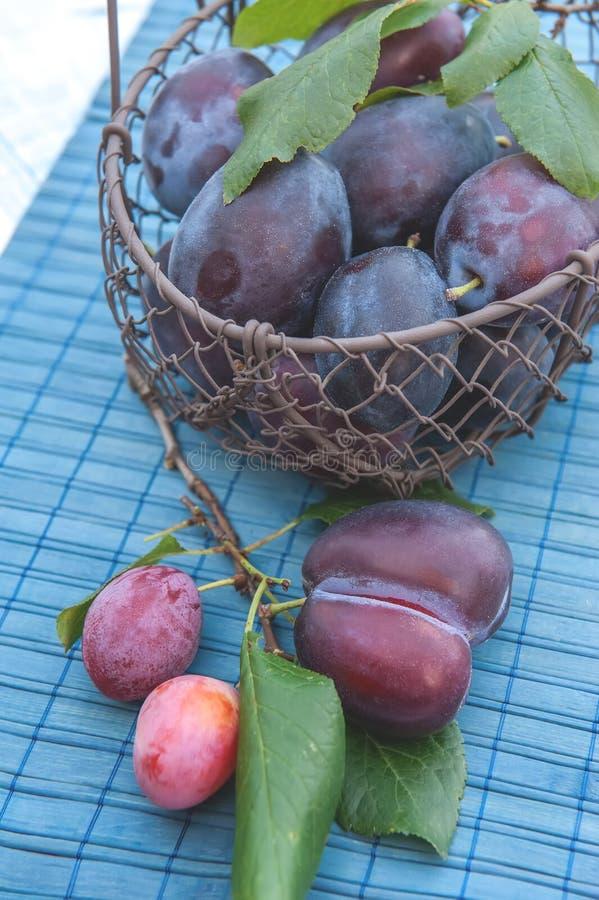 Prunes bleues mûres et juteuses dans un panier en osier dans un style rustique Action de grâces heureuse Le cadre horizontal images stock