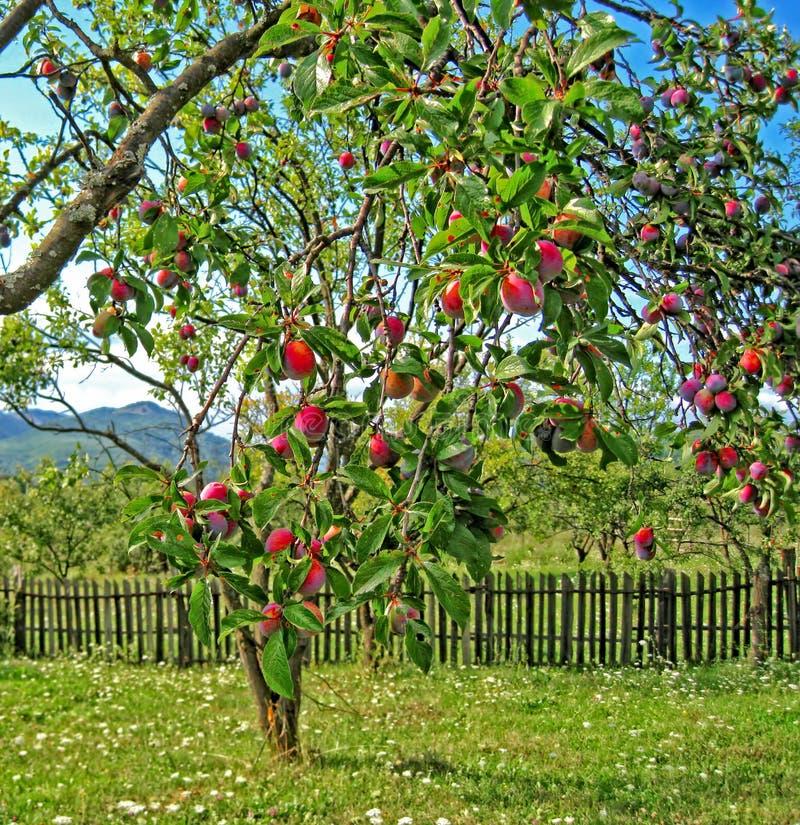 Prunes mûres accrochant sur Plum Tree Branch photographie stock