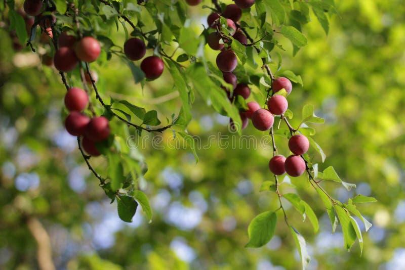 Prunes mûres rouges sur l'arbre images libres de droits