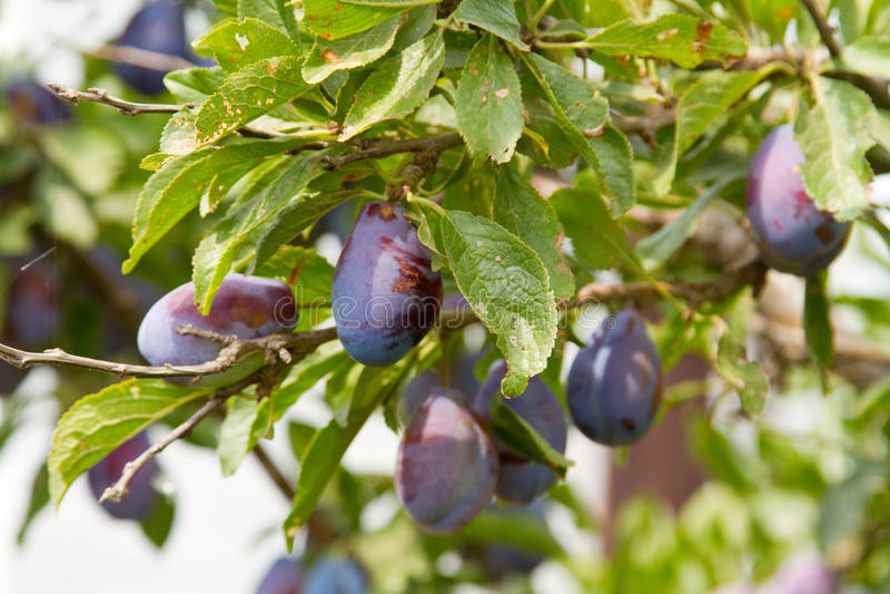 Prunes mûres sur la branche d'arbre image stock
