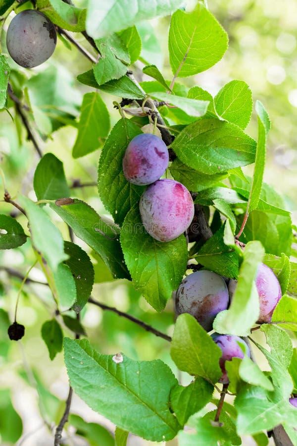 Prunes m?res sur une branche d'arbre dans le verger photographie stock libre de droits