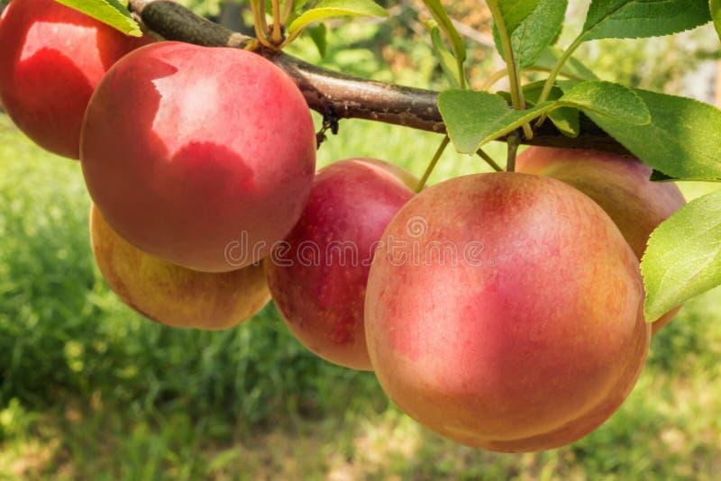Prunes rondes rouges et jaunes dans le jardin de verger photos stock