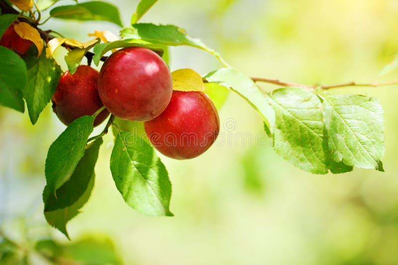 Prunier avec les fruits juteux dans le jardin image stock