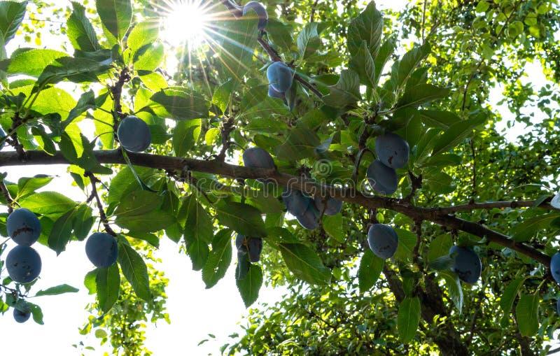 Prunier avec les fruits juteux sur la lumière de coucher du soleil lumière du soleil tombant sur les feuilles images stock