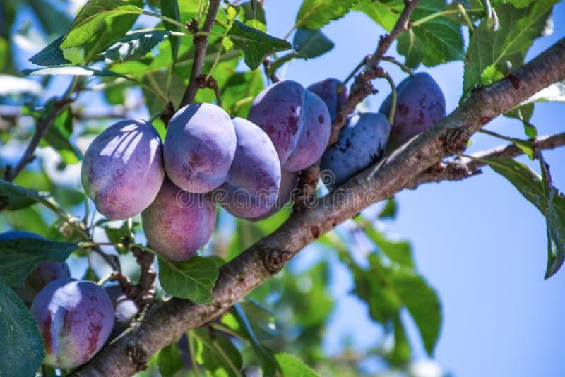 Prunier avec les fruits mûrs juteux sur la lumière de coucher du soleil photographie stock
