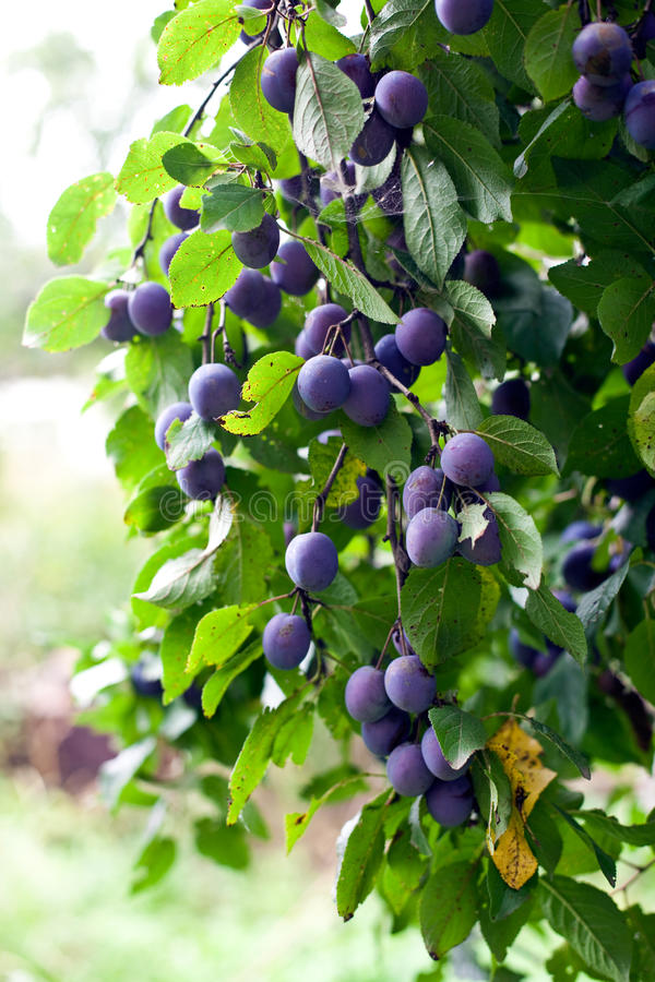 Prunier dans le jardin envahi photos stock