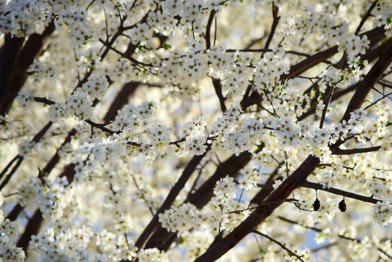 Prunier de floraison au soleil photo stock