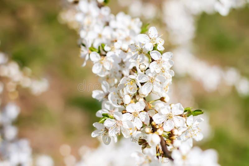 Prunier de floraison de belle source photos stock
