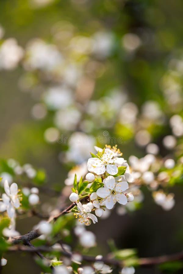 Prunier de floraison de belle source images libres de droits