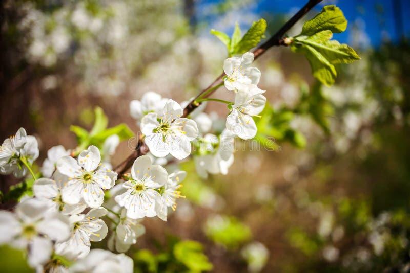Prunier de floraison de belle source photographie stock libre de droits