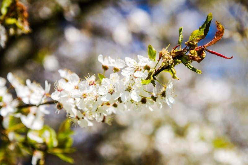Prunier de floraison de belle source photos libres de droits