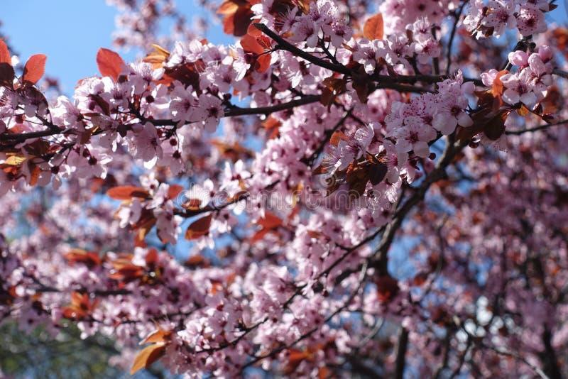 Prunier poussé des feuilles pourpre en pleine floraison image stock