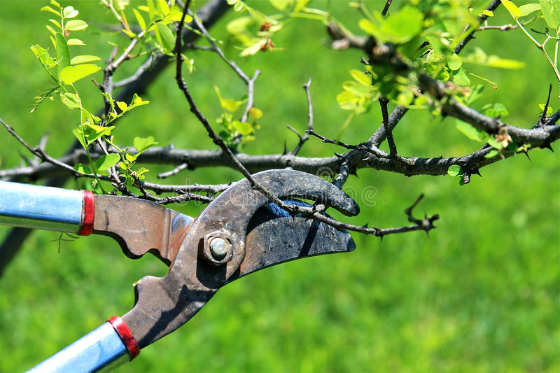 Pruning. Shears being used to trim dead branches on a small tree in a garden stock image