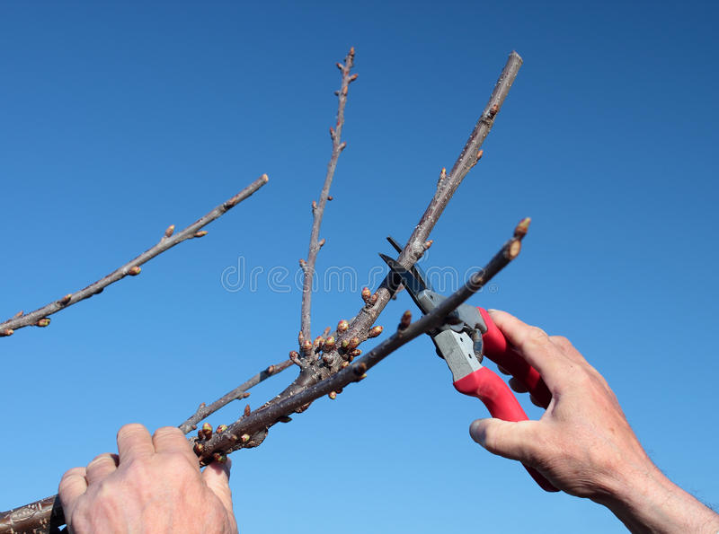 Pruning. In a orchard in the spring stock image