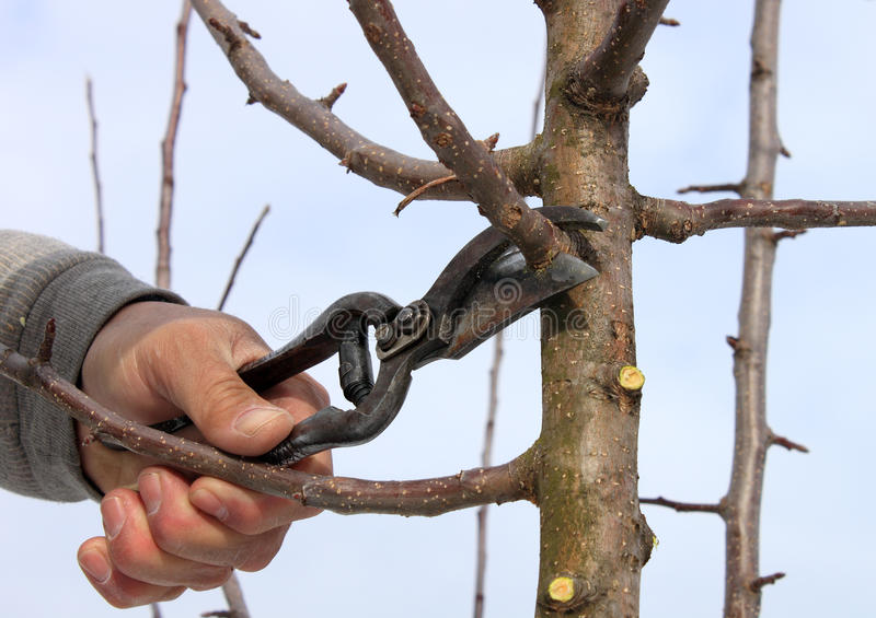 Pruning. In a orchard in the spring stock photography