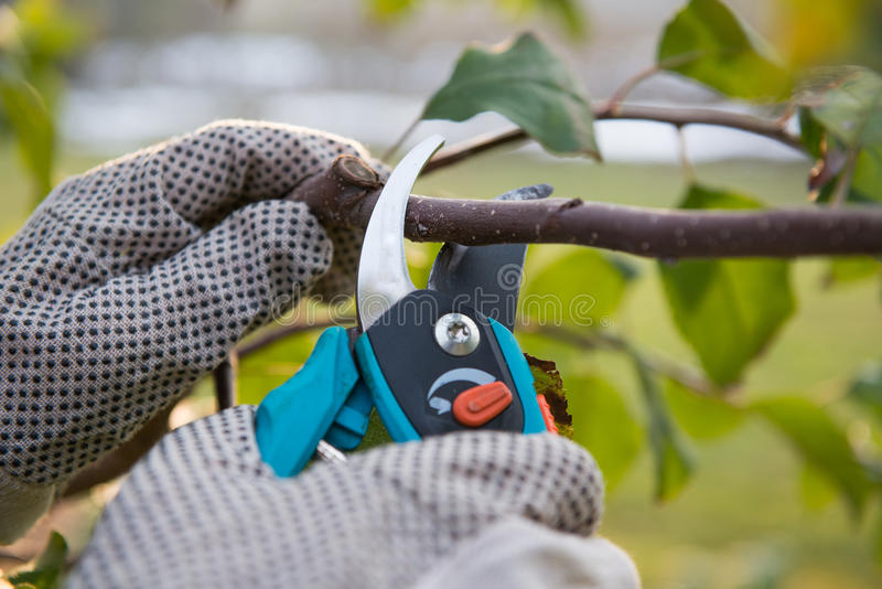 Pruning. Fruit trees by  shears stock image