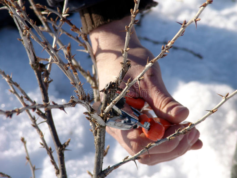 Pruning berries. Winter pruning berries and ornamental shrubs. Some types of berries may already pruned in the winter, such as currants and gooseberries stock image