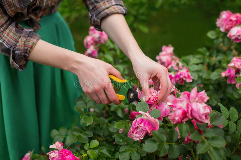 Pruning bush in garden. Pruning the bush & x28;rose& x29; with secateur in the garden stock photography