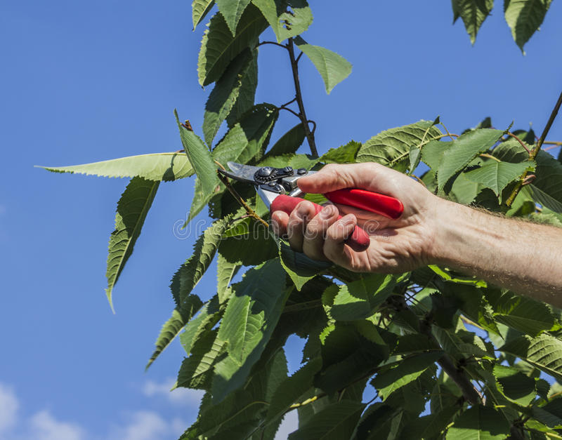 Pruning the cherry tree. Pruning shears are used to trim the cherry tree. Only the hand is visible of the worker royalty free stock image