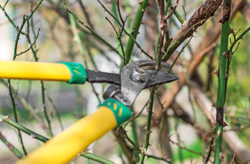Pruning. Cutting branches at spring stock image