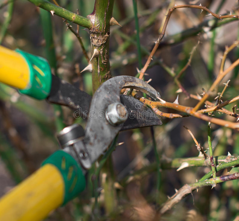 Pruning. Cutting branches at spring stock photos