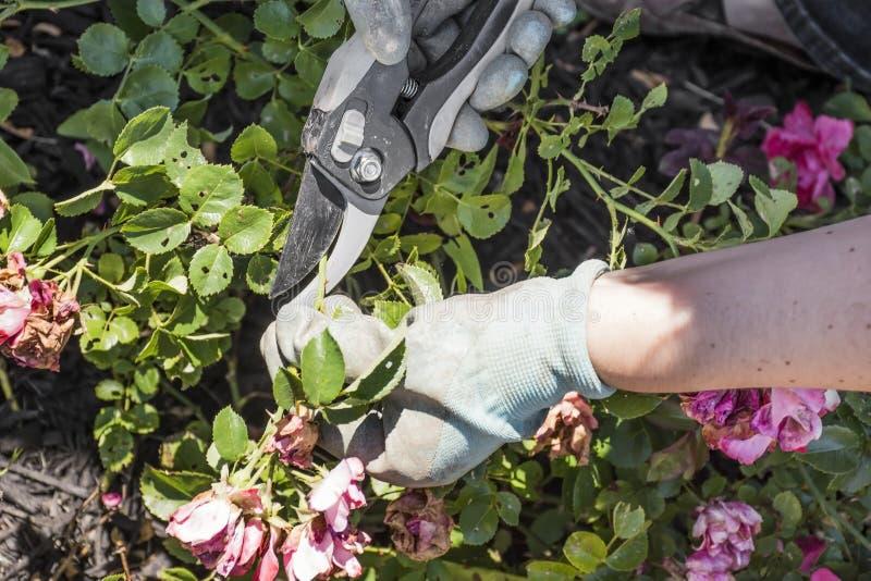 Pruning Drift Roses. A gardener pruning or deadheading drift roses royalty free stock images